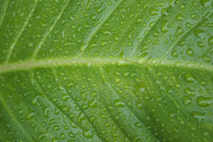Green leaf with drops of water. Nature background royalty free stock photography
