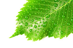 Green leaf with drops of water over white. Image of green leaf with drops of water over white closeup Royalty Free Stock Image
