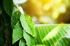Green leaf with drops water. Green leaf with drops water in thailand Stock Photography