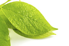 Green leaf with drops of water Royalty Free Stock Images