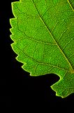 Green leaf edge Royalty Free Stock Photo