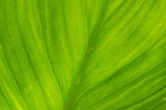Green leaf. Of elephant ear plant Stock Image