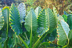 Green leaf from an Elephant Ear plant. In forest stock photo