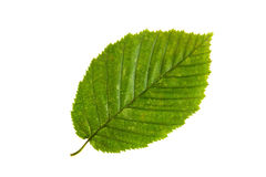 Green leaf of elm tree isolated on white backgro Royalty Free Stock Photos