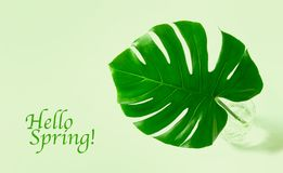 Green leaf exotic flower monstera Hello Spring. Green leaf of exotic flower monstera. Hello Spring stock photography