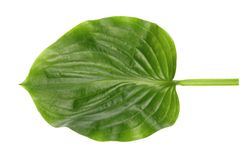 Green leaf of exotic tree isolated on white background. Natural concept.