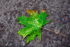 Green leaf fallen on the ground Stock Photo