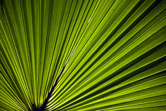 Green Leaf Fan. Back lit green leaf in a fan pattern Royalty Free Stock Images