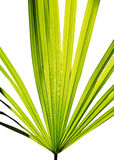 Green leaf of fan palm Stock Images