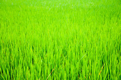 Green leaf of farm Royalty Free Stock Image