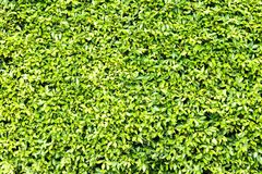 Green Leaf Fence Stock Image