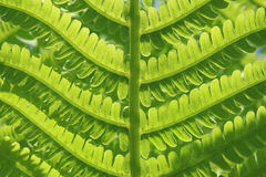 Green leaf of fern Stock Images