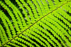 Green leaf fern close-up sunligh Stock Photography