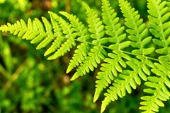 Green leaf of a fern closeup Stock Image