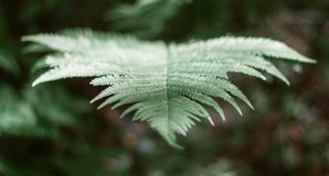 Green leaf fern in the forest close-up. Beautiful fern leaf. Forest greens royalty free stock image