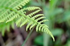 Green leaf of fern growing in the forest in macro shot. Royalty Free Stock Photo