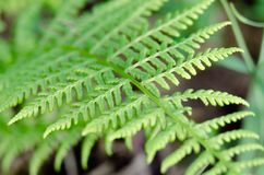 Green leaf of fern growing in the forest in macro shot. Stock Photo