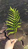 The green leaf of fern in hand. royalty free stock image