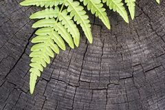Green leaf of a fern. The isolated green leaf of a fern on an old wooden stump closeup and a blank space Royalty Free Stock Image