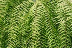 Green leaf fern Royalty Free Stock Image