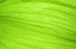 Green leaf fibres Stock Photos