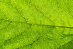 Green leaf. Filament--limb-stalk Stock Photo
