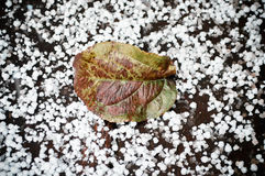 Green leaf on the first snow. Ngreen tree leaf on the first snow white Stock Photography