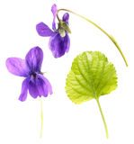 Green leaf and flowers of Wood violet or Viola odorata isolated on white background. Medicinal and garden plant Stock Images