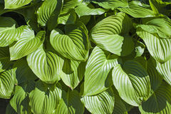 Green leaf foliage Royalty Free Stock Photos