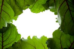 Green Leaf Frame. Made Of Fresh Beet Leaves Royalty Free Stock Photography