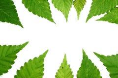 Green leaf frame Royalty Free Stock Images