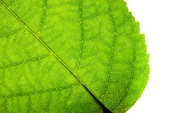 Green leaf fresh detailed rugged surface structure extreme macro closeup photo with diagonal midrib, leaf veins grooves stock image