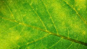 Green leaf fresh detailed rugged surface structure extreme macro closeup photo with midrib, leaf veins and grooves texture stock photos