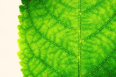 Green leaf fresh detailed rugged surface structure extreme macro closeup photo with midrib, leaf veins and grooves texture. royalty free stock photography