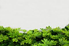 Green leaf front white concrete wall background.  Stock Photos