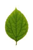 Green leaf of Fuzzy Mock-orange isolated on white Stock Image