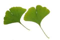 Green leaf of ginkgo Stock Photography