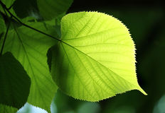 Green leaf glowing in sunlight Stock Photography