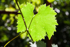 Green leaf of grape illuminated by sun in vineyard Stock Photo