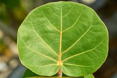 Green leaf of grape plant. In mexico Royalty Free Stock Photography