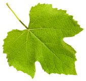 Green leaf of grape vine plant (Vitis vinifera). Isolated on white background Royalty Free Stock Photo