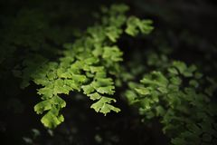 Green leaf. Green leaves illuminated by sunlight in forest shadow Royalty Free Stock Photography
