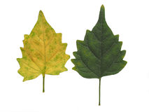 Green leaf, Green leaves, Yellow leaf, Yellow leaves isolated on white background royalty free stock photo