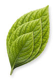 Green Leaf In Growth Stages. Isolated green leaf in growth stages Stock Photo