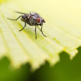 Green Leaf Guard. A close-up of a small fly sitting on a green leaf royalty free stock image