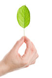 Green leaf in hand Stock Photo