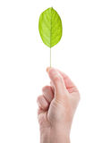 Green leaf in hand Stock Images