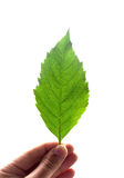 Green leaf in hand. Isolated on white. For CG Stock Image