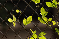 Green leaf hanging on wire fence Royalty Free Stock Images
