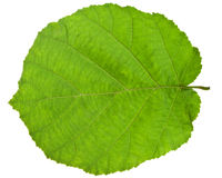 Green leaf of hazel tree Royalty Free Stock Images